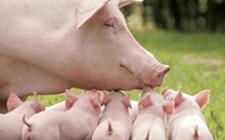 养猪场使用保育床有什么好处?又有什么作用?