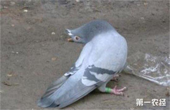 鸽子歪脖怎么办?鸽子歪脖的原因以及治疗