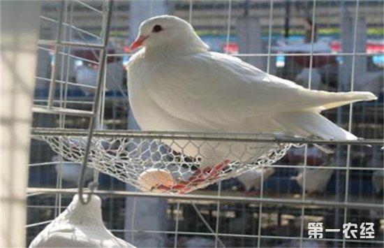 为什么蛋鸽不产蛋?鸽子停止产蛋的原因
