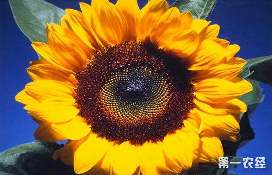 向日葵空壳是什么原因?葵花籽空壳的解决方法