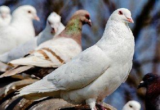 鸽子怎么养?鸽子怎么养容易肥