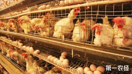 蛋鸡换羽新技术:让蛋鸡的生产周期延长至1000天