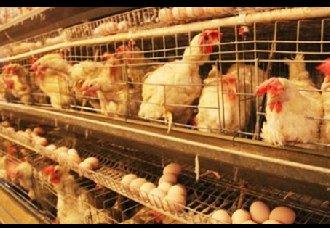 <b>蛋鸡换羽新技术:让蛋鸡的生产周期延长至1000天</b>