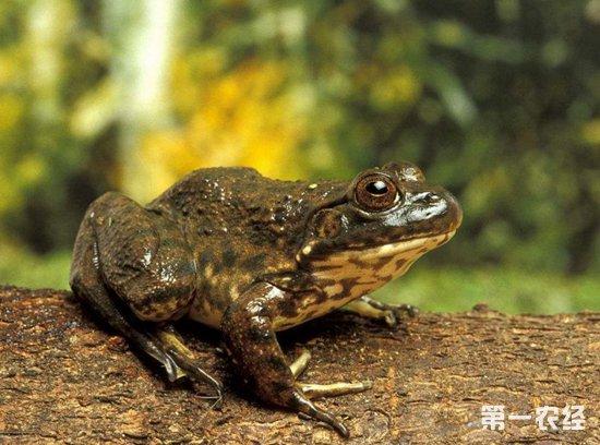 牛蛙要怎么养?牛蛙的养殖技术