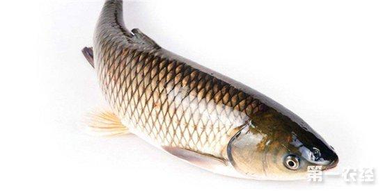 """草鱼是我国淡水养殖的四大家鱼之一,它的生长速度比较快快,饲料来源广泛,喂养的成本低,市场需求非常可观,是人们餐桌上常出现的鱼类,养殖草鱼的经济效益好。现在这个季节正是草鱼的生长旺季,但是由于天气炎热,也容易造成草鱼死亡,那么高温天气应该如何养殖草鱼呢?接下来小编和大家一起来学习一下。     1、水质管理   夏季高温,要适当的增加鱼塘的水位,来达到降温的效果,否则水位过低,水体的自控能力下降,易引起草鱼的应激反应,导致疾病的爆发率提高,造成草鱼的死亡。所以到了夏季就要将水位提升到2.5米左右,最低不得低于1.5米。还要做好水质的测试,每周检测一次水质,保证水质良好,适合草鱼生长。一旦水质变差要及时调整或者直接换水,保持鱼群在池塘内有舒适的水体环境。   2、增氧   众所周知,鱼类都是通过水体的溶解氧生存,在养殖时由于场地的限制以及养殖密度较高,常常会导致溶氧不足的情况,这样草鱼会活活闷死。而夏季高温,易造成闷热的环境,所以增氧时高温期必须的手段,给水体增氧一般有三种方法,一种是空气自然溶氧,二是植物光合作用增氧,三是通过人工的增氧器增氧。在夏季第一种方法是不适合的,第二种限制较大,比如在晚上时没有阳光,浮游植物不能制造氧气,相反还要消耗水体的溶氧,所以在夏季一般要进行人工增氧。   3、科学饲喂   夏季时高温时草鱼的活动力小,一般潜伏于池地阴凉地区,食欲也不佳,所以饲喂方法一定注意方法。投喂的饵料一定要新鲜,精饲的比例一定要加重,白天温度较高,投喂后草鱼也基本不会食用多少,既造成浪费,还易使饵料发酵变质后污染水质。每天要增加投喂次数,一天投喂3-4次,早晨和晚上时主投喂时间,白天可少量投喂,其中晚上的精饲比例要占全天精饲比重的60%-80%,这样草鱼在吃完后,即可休息,可促进其快速长膘。   4、疾病防治   夏季时疾病高发季节,一定要做好疾病防治工作,坚持""""以防为主,防重于治""""的原则,发病在进行有针对性的治疗,要熟悉了解夏季常见的几个疾病特征,在发病后立即做出决定。如果没办法确定时那种疾病,要及时和专业的技术人员沟通,在专业技术人员的指导下针对性的用药防治。    以上就是夏季高温草鱼的养殖技巧了,要适当提高鱼塘水位,定期检测水质,保证水质的干净。气温太高会导致鱼塘溶氧不足,养殖户要给水体进行增氧,投喂新鲜的饵料,提高精饲的比例促进长膘,并做好疾病防治工作,以防为主。想了解更多养鱼技术,请关注第一农经网。"""