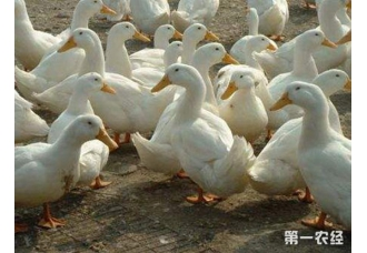 <b>蛋鸭产蛋量减少?蛋鸭产蛋期间的注意事项</b>