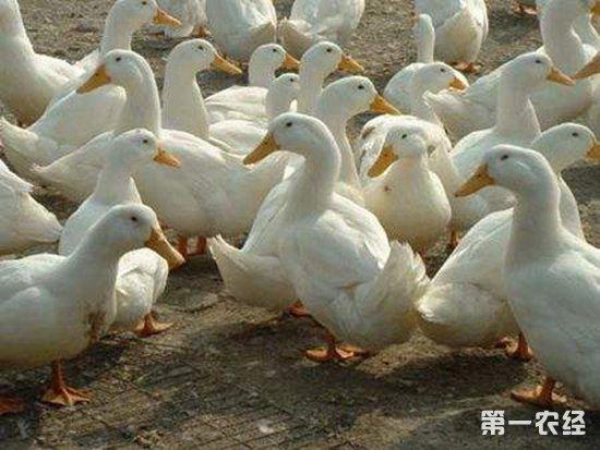 蛋鸭产蛋量减少?蛋鸭产蛋期间的注意事项
