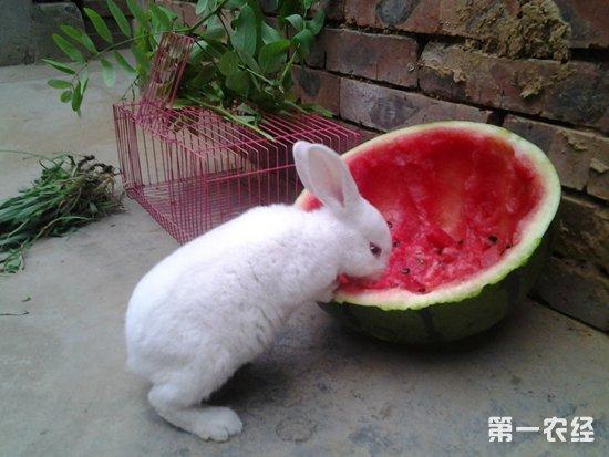 獭兔巴氏杆菌病要怎么治疗?兔巴氏杆菌病的防治措施
