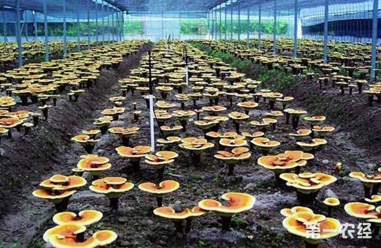 灵芝要怎么养种植才能高产?灵芝的高产技术