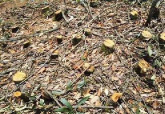 湖北宣恩:某公司收购滥伐林木被立案 负责人已于近日被依法刑事拘留