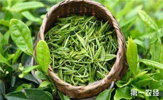 绿茶需要洗茶吗 冲泡绿茶的诀窍