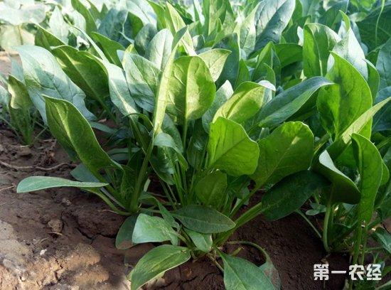 2018年8月10日全国各地农贸市场菠菜价格行情