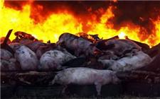 农业部下发通知 严防猪瘟流出屠宰场