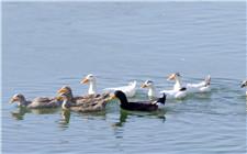 鸭子腹泻的病因及防治方法