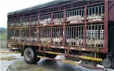 河南一屠宰场对生猪注水打药 最高被判13年罚530万元