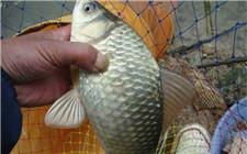 想养鲫鱼要先知道这些 鲫鱼养殖的几大要点