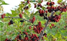 桑树需要施肥吗?桑树的四季施肥方法