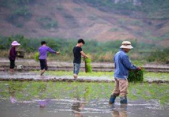 广西柳州:晚稻插田工作已结束 农民期盼仍是个丰收年