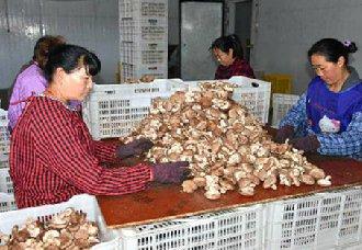 河南灵宝市:千亩食用菌菇收益好 七个月卖出6.6亿元
