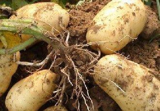 <b>水肥药一体化新技术让马铃薯增产20%</b>