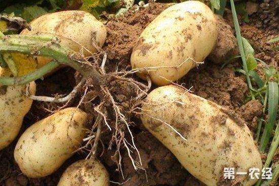 水肥药一体化新技术让马铃薯增产20%