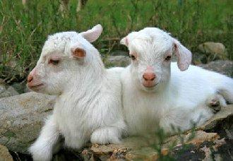 <b>羔羊育肥前有哪些准备工作?育肥料要如何搭配?</b>
