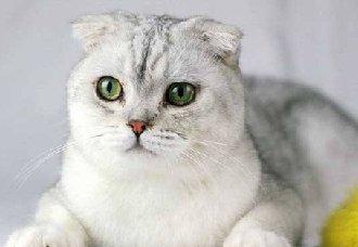 折耳猫为什么不能养?不能养折耳猫的原因