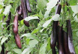 <b>怎么提高茄子的产量?茄子高产的种植技术</b>