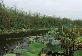 河北:白洋淀上游将进行造林 提高河岸绿化率