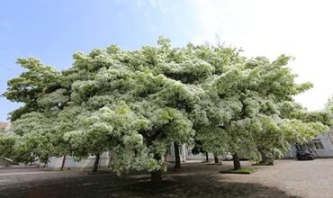流苏树怎么种?流苏树的种植方法