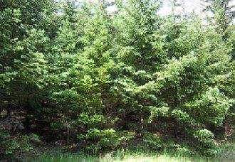 <b>云杉怎么繁殖?云杉的播种育苗技术和扦插育苗技术</b>