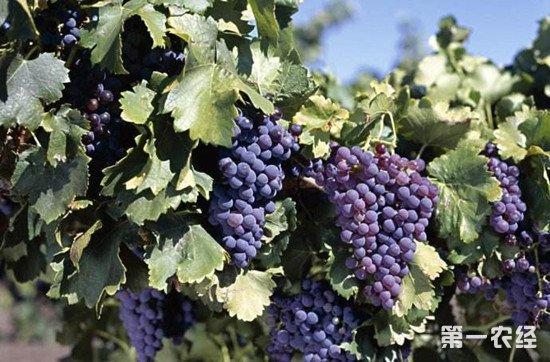 自酿葡萄酒用什么葡萄好?
