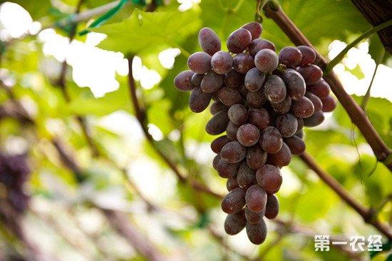 自酿葡萄酒的选择