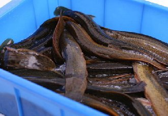 <b>泥鳅一斤多少钱?8月14日泥鳅价格行情</b>