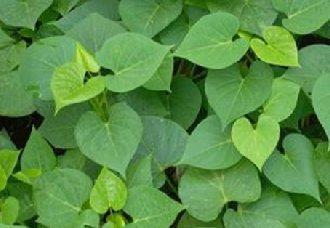 """南京:""""长寿菜""""为绿叶蔬菜新品种 学名叫菜用甘薯"""