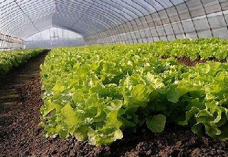 <b>生菜夏季如何管理?生菜夏季遮阴覆盖栽培技术要点</b>
