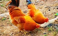 <b>龚光辉:养鸡致富不忘众乡邻,带动10多个乡镇致富!</b>