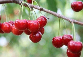 <b>樱桃为什么会出现裂果?樱桃裂果的原因和预防</b>