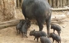 <b>郑州惠济:发生猪O型口蹄疫疫情 173头病猪以及同群猪已扑杀</b>