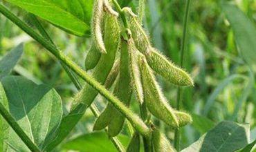 大豆要怎么度过高温天气?大豆高温危害的预防措施