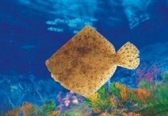 多宝鱼怎么养?多宝鱼的养殖技术