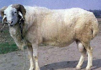 如何提高公羊的繁殖能力?提高公羊繁殖能力的办法