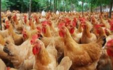 2018年8月17日养鸡市场行情如何?今日养鸡行情概述