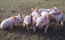 河南郑州:国内第二起非洲猪瘟已经确诊!有什么潜在威胁?