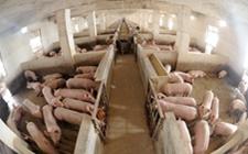 用水泥地养猪是很常见的做法,但其实坏处多多!