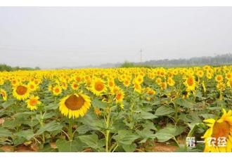 油葵要如何种植?油用向日葵的种植技术