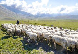 <b>羊饲料干喂和湿喂的优缺点以及喂法的选择</b>