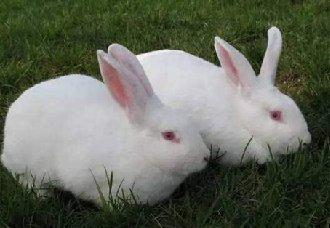 肉兔要怎么催肥?肉兔的催肥技术