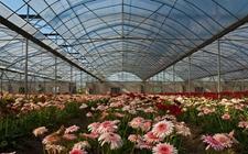 甘肃白银:花卉产业带动乡村经济发展