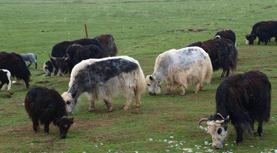 青海:全力推进牦牛产业 发展具有高原特色的畜牧经济